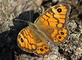 Praktfjärilar